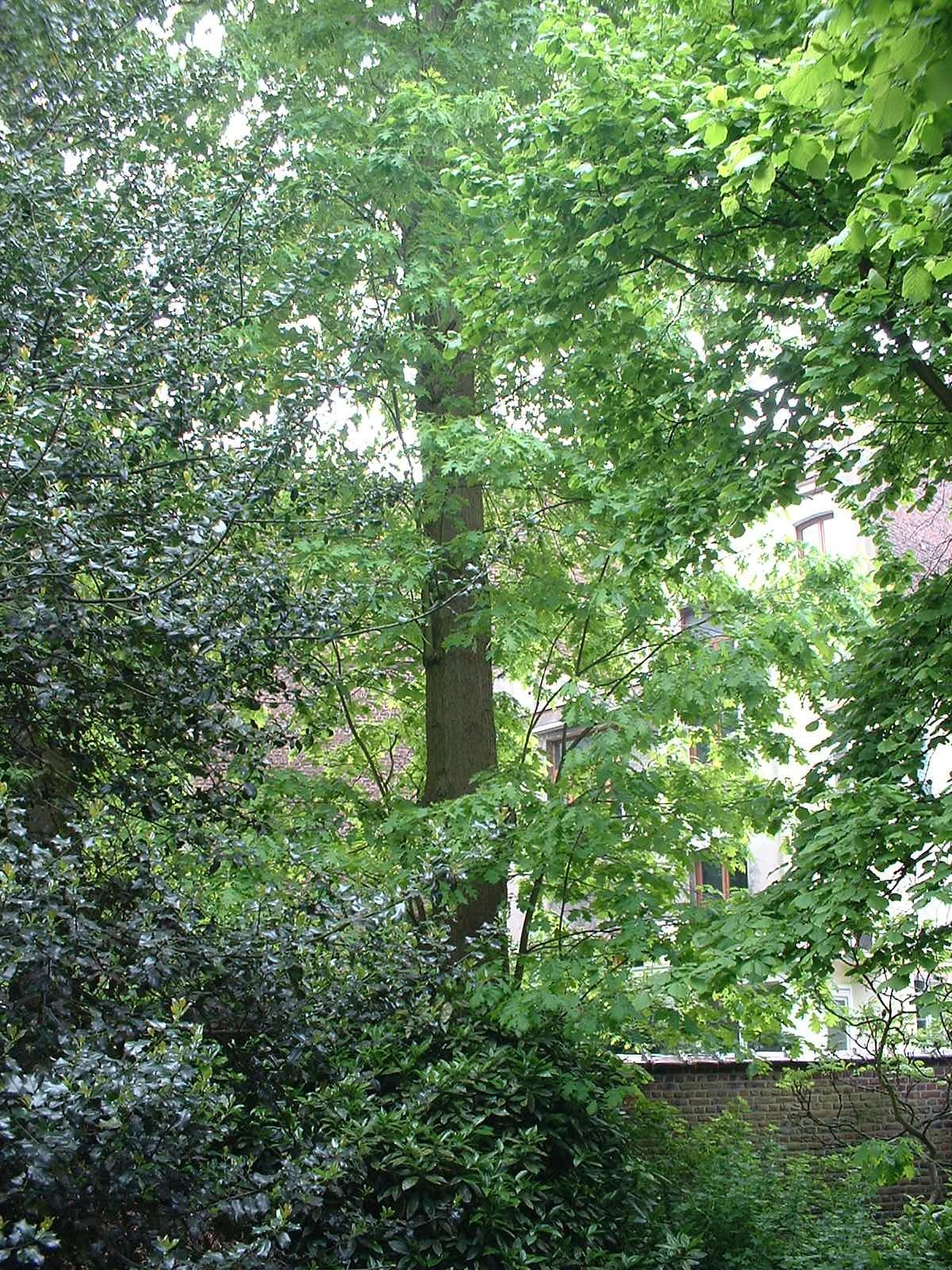 Amerikaanse eik – Schaarbeek, Rassonstraat, 97 –  09 Mei 2003