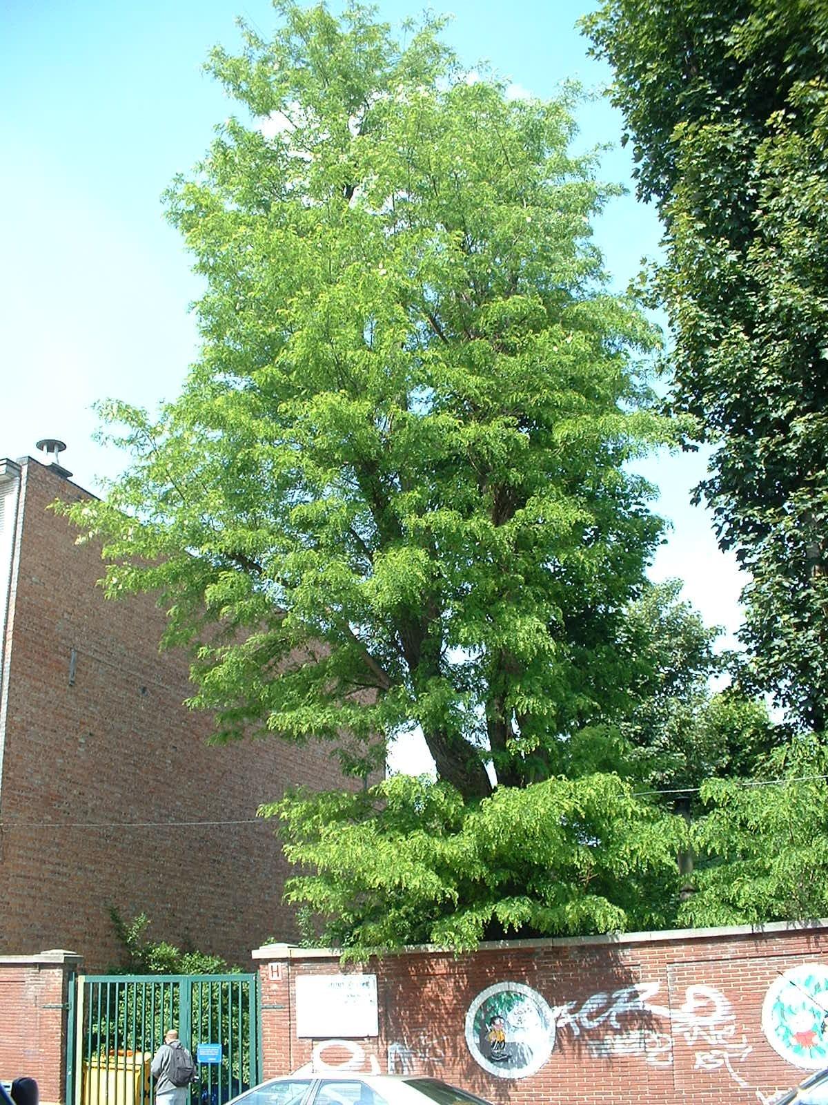 Gewone acacia – Etterbeek, Fort van Boncellesstraat, 8 –  16 Mei 2003