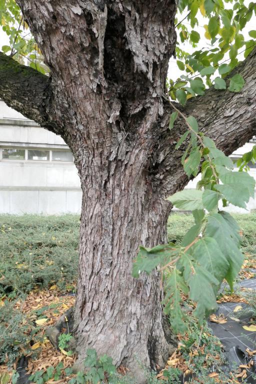 Ostrya carpinifolia,