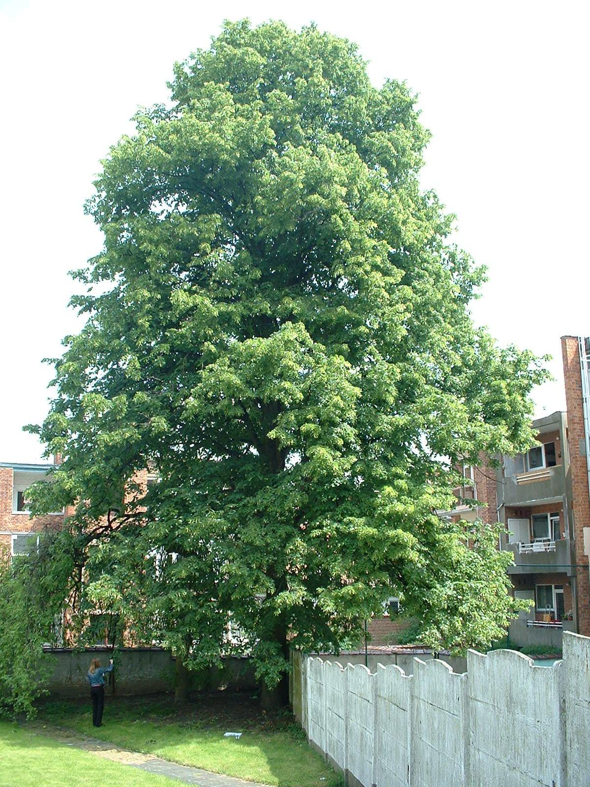 Tilleul à larges feuilles – Etterbeek, Rue des Champs, 129 –  16 Mai 2003
