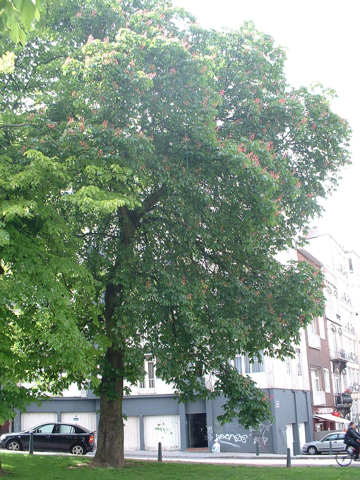 Marronnier à fleurs rouges – Etterbeek, Square de Léopoldville –  21 Mai 2003