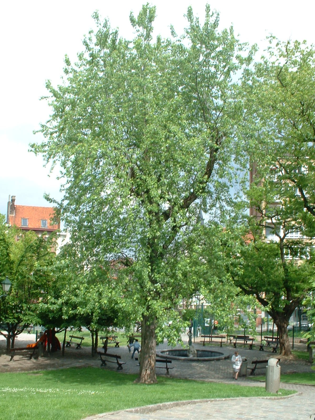 Erable argenté – Etterbeek, Square de Léopoldville –  21 Mai 2003