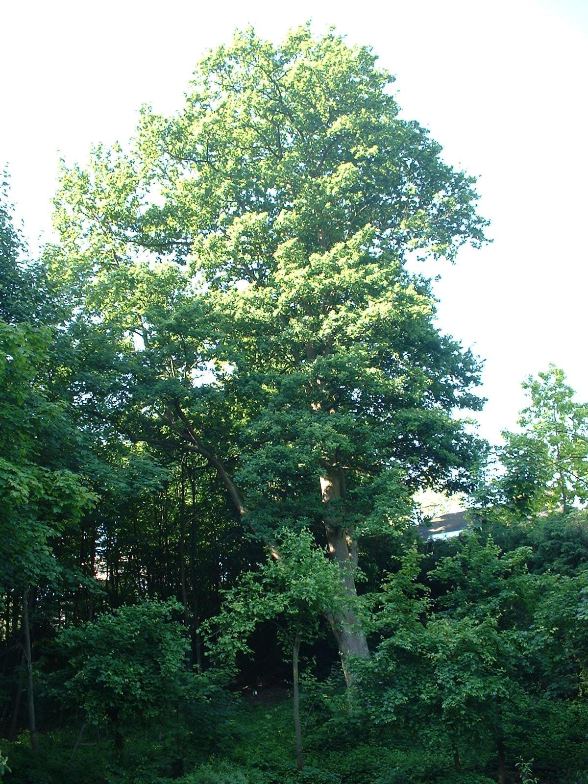 Chêne pédonculé – Woluwé-Saint-Pierre, Avenue Général Baron Empain, 31-33 –  26 Mai 2003