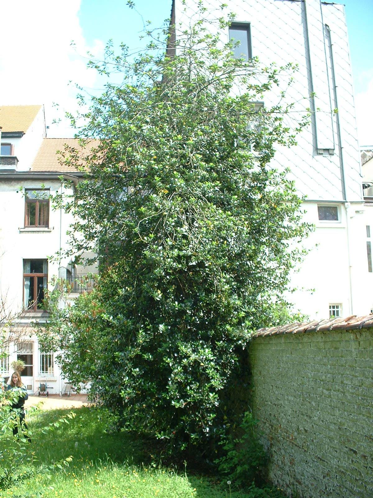 Houx de Haute-Claire – Etterbeek, Avenue d'Auderghem, 87 –  26 Mai 2003