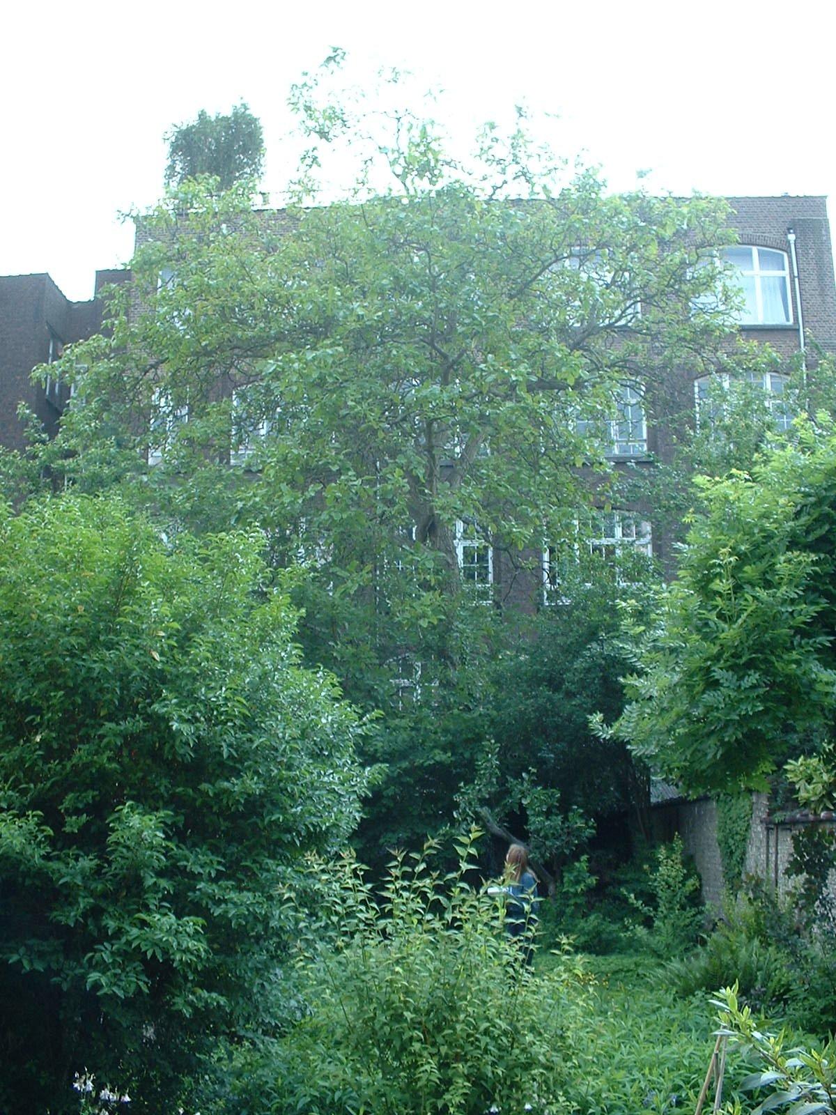 Noyer royal – Ixelles, Rue du Prévôt, 61 –  28 Mai 2003