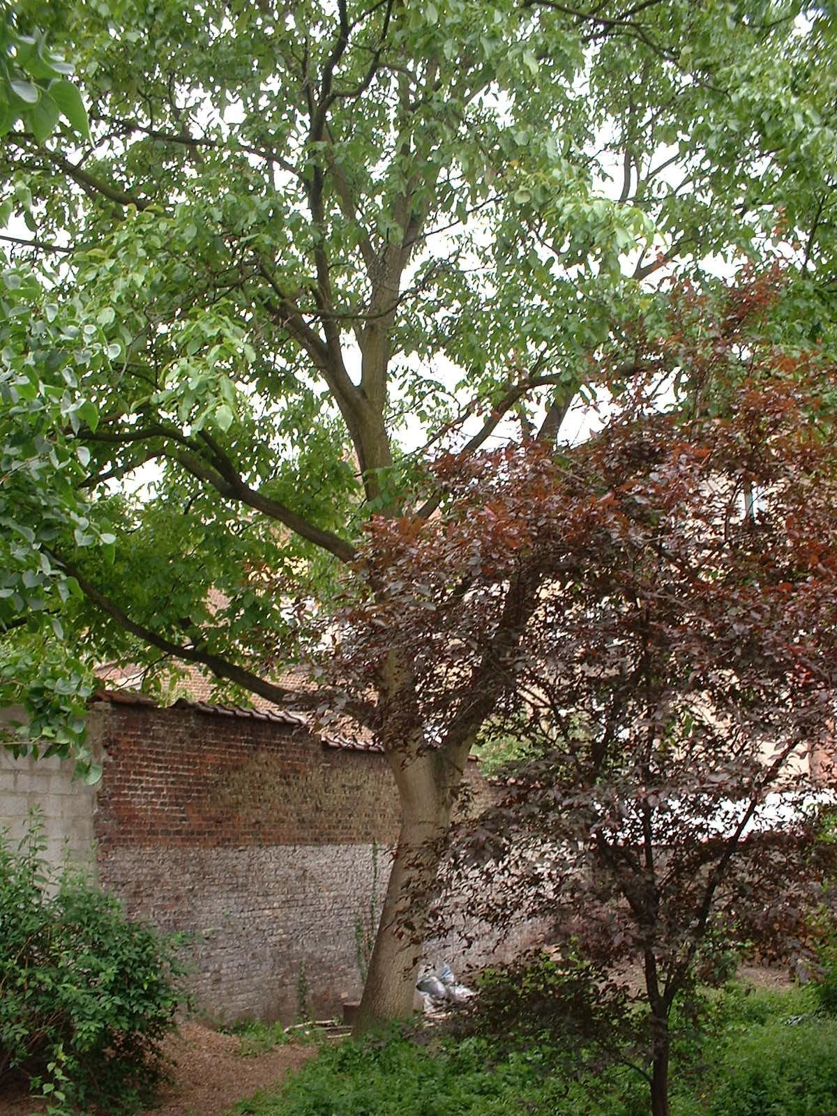 Noyer royal – Etterbeek, Chaussée de Wavre, 585-587 –  02 Juin 2003