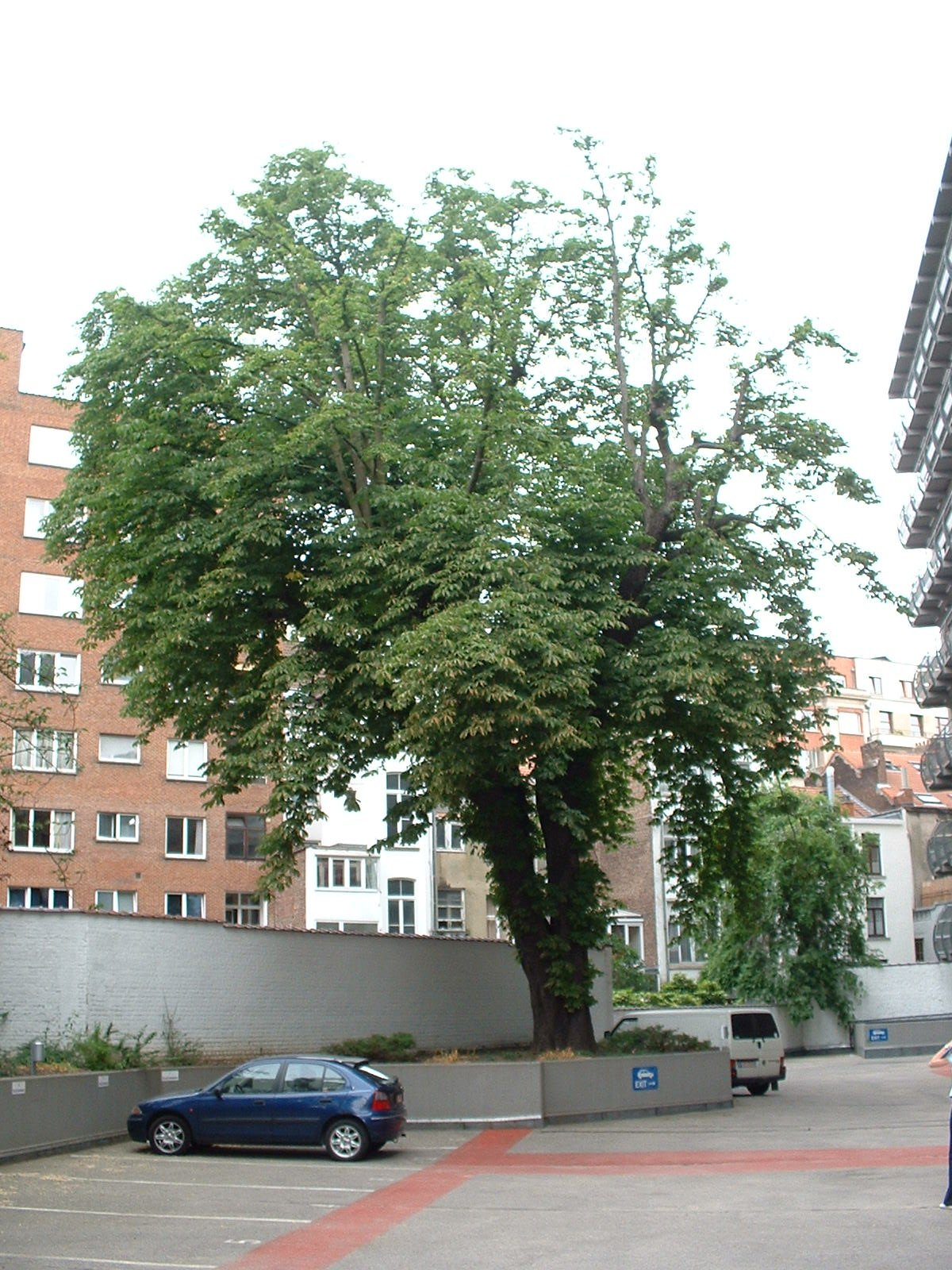 Marronnier commun – Etterbeek, Avenue des Nerviens, 9-31 –  03 Juin 2003