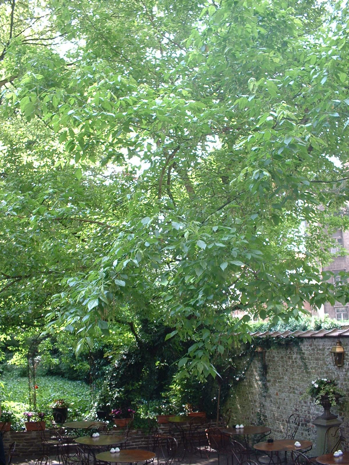 Erable à feuilles de frêne – Bruxelles, Avenue Louise, 423 –  06 Juin 2003