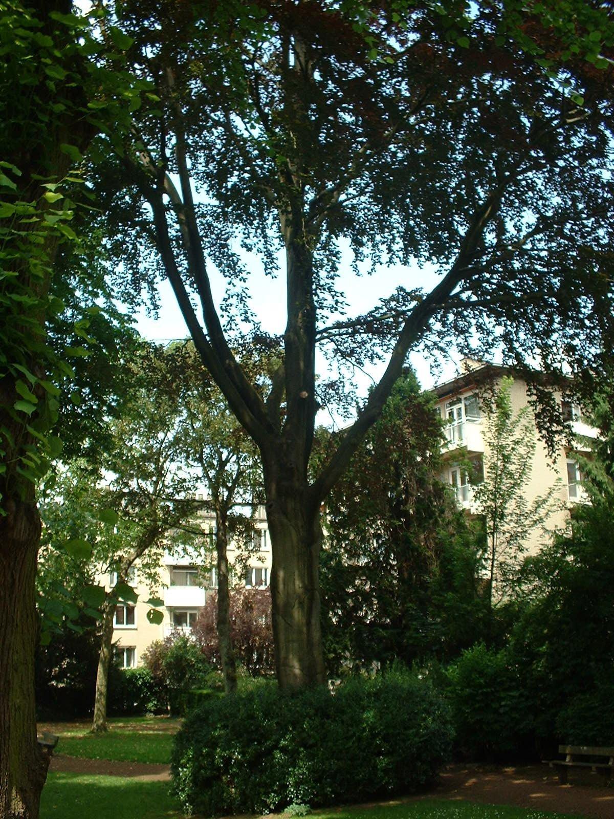 Hêtre pourpre – Ixelles, Parc Buchholtz, Rue Américaine –  11 Juin 2003