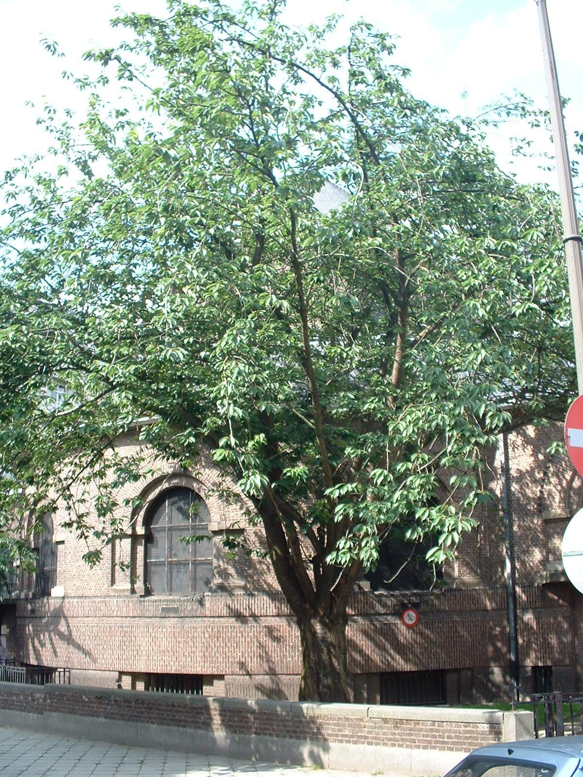 Cerisier du Japon – Ixelles, Place Georges Brugmann –  11 Juin 2003