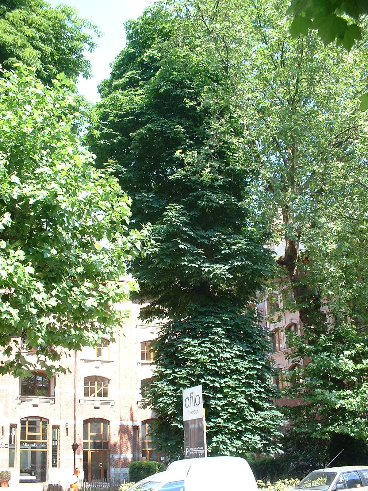 Marronnier commun – Ixelles, Chaussée de Waterloo, 412 –  13 Juin 2003