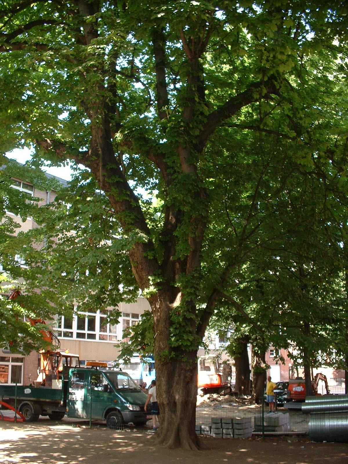 Marronnier commun – Ixelles, Rue Africaine, 3 –  13 Juin 2003