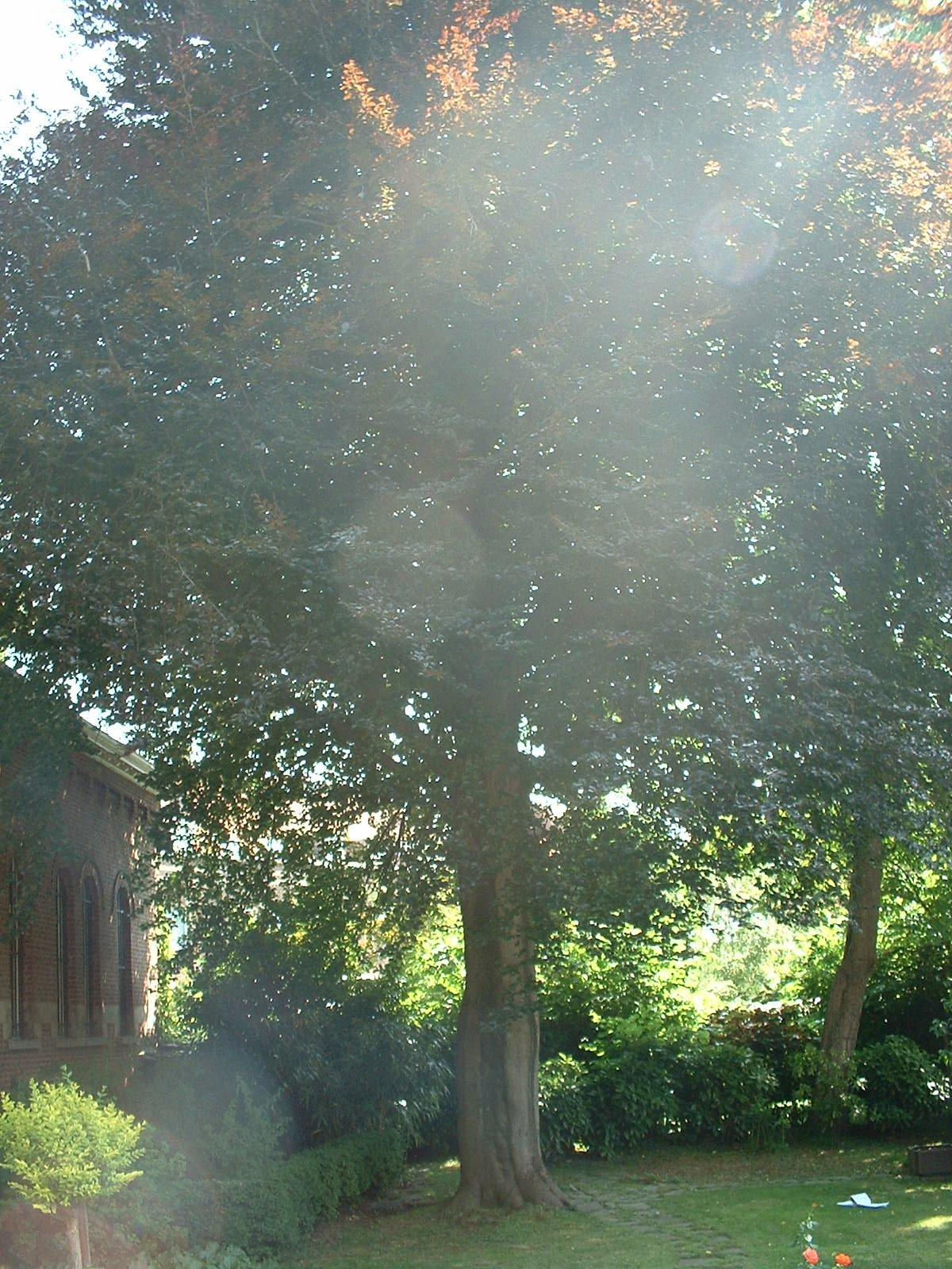 Hêtre pourpre – Ixelles, Rue Joseph Stallaert, 8 –  17 Juin 2003