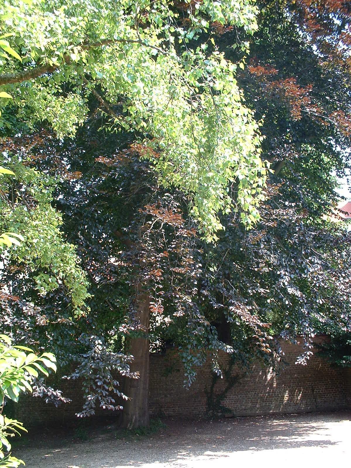 Hêtre pourpre – Forest, Avenue Brugmann, 118 –  17 Juin 2003