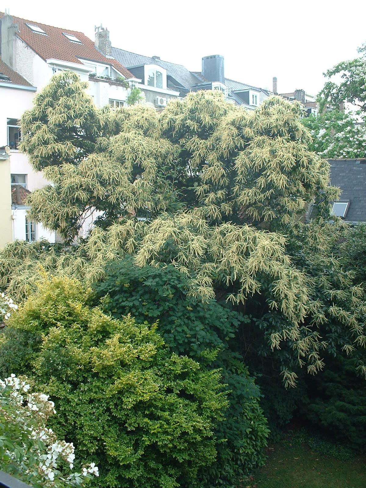 Châtaignier – Ixelles, Rue de Livourne, 43 –  18 Juin 2003
