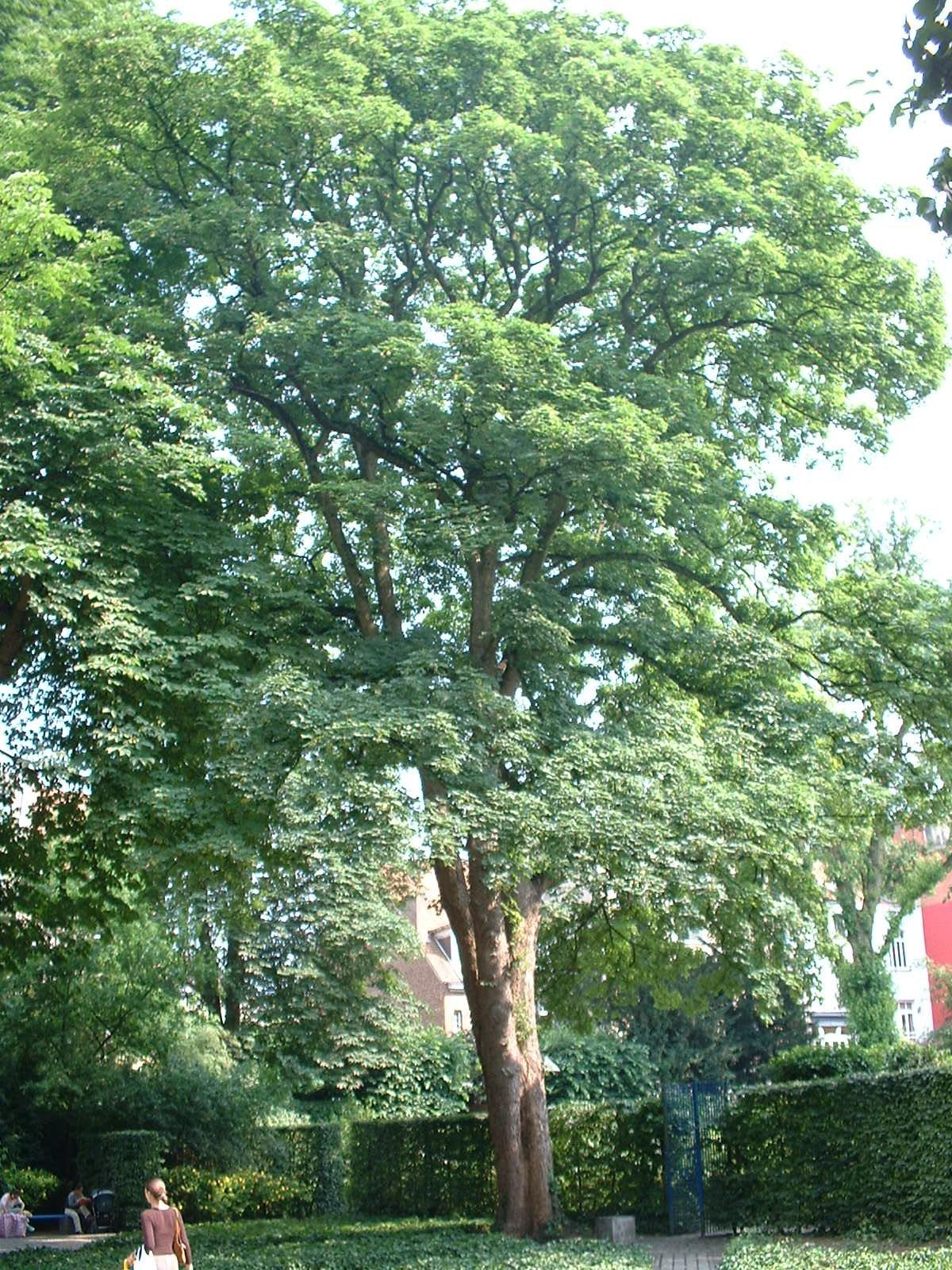 Erable sycomore – Ixelles, Parc de l'Abbé Froidure, Rue Franz Merjay –  18 Juin 2003