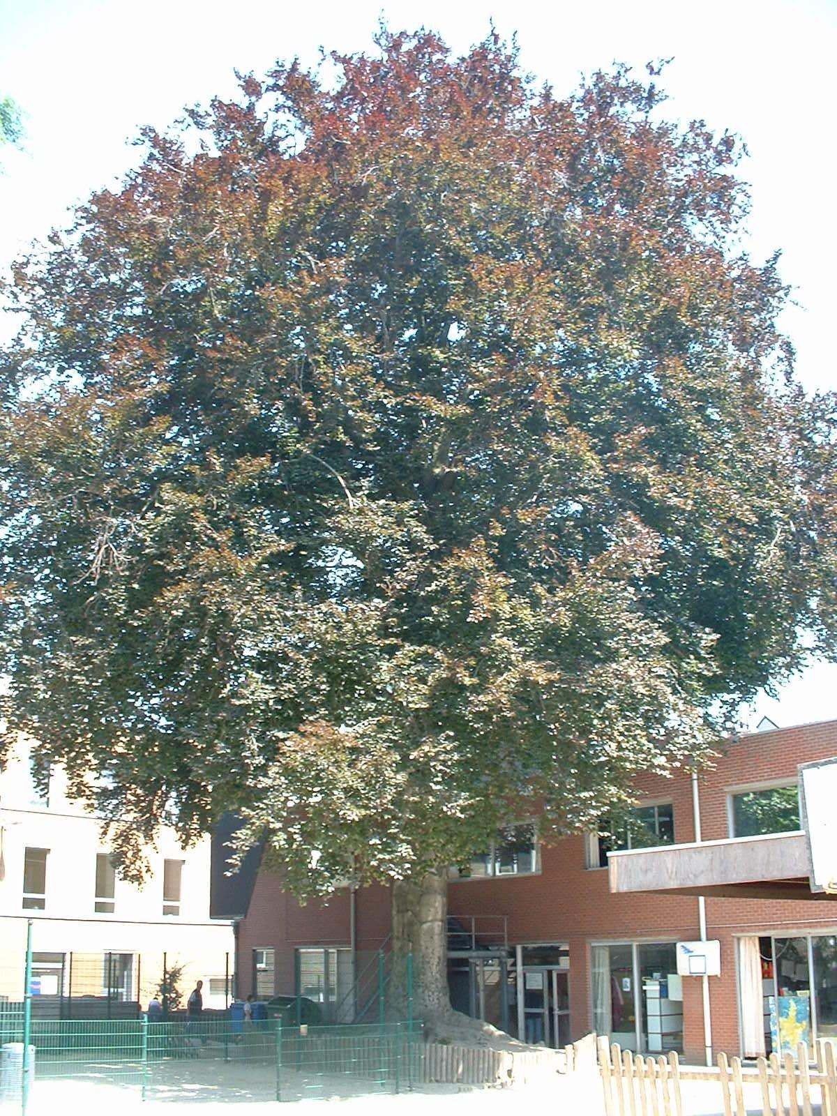 Hêtre pourpre – Ixelles, Rue de la Croix, 37 –  26 Juin 2003