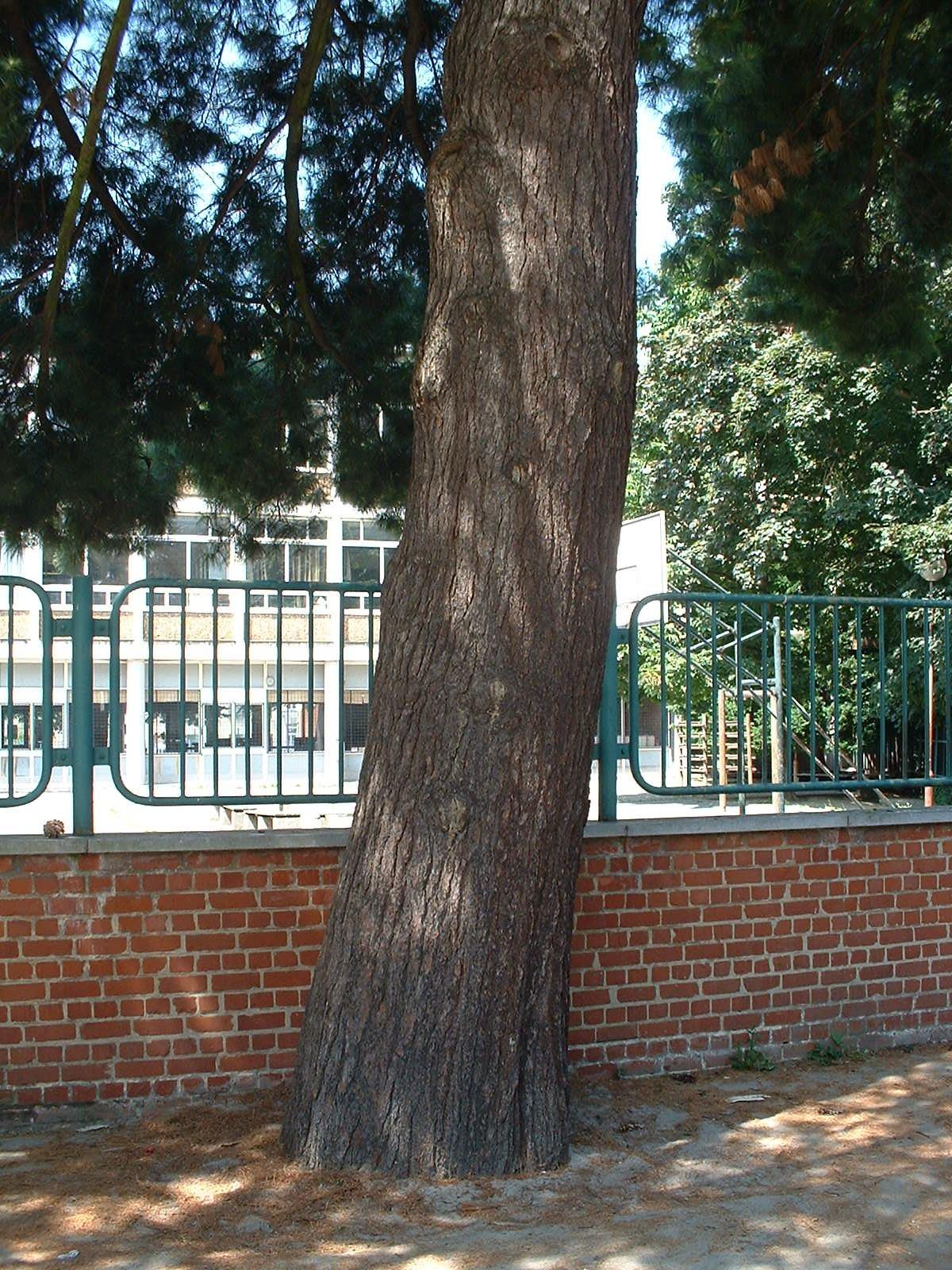 Pin de Weymouth, ,  26 Juin 2003