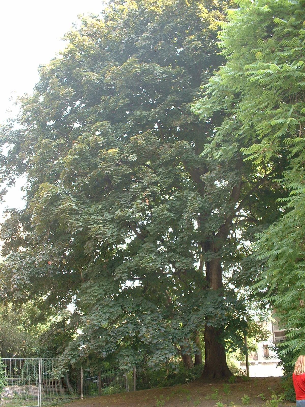 Acer platanoides f. schwedleri – Ixelles, Jardin de l'œuvre du calvaire, Rue Limauge, 14a-c –  27 Juin 2003