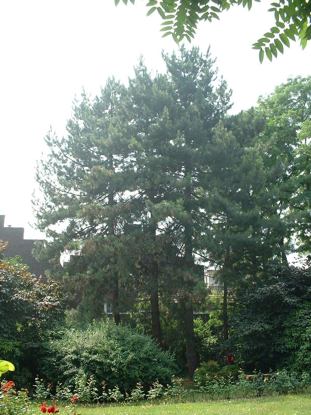 Pin noir – Ixelles, Jardin de l'œuvre du calvaire, Rue Limauge, 14a-c –  27 Juin 2003