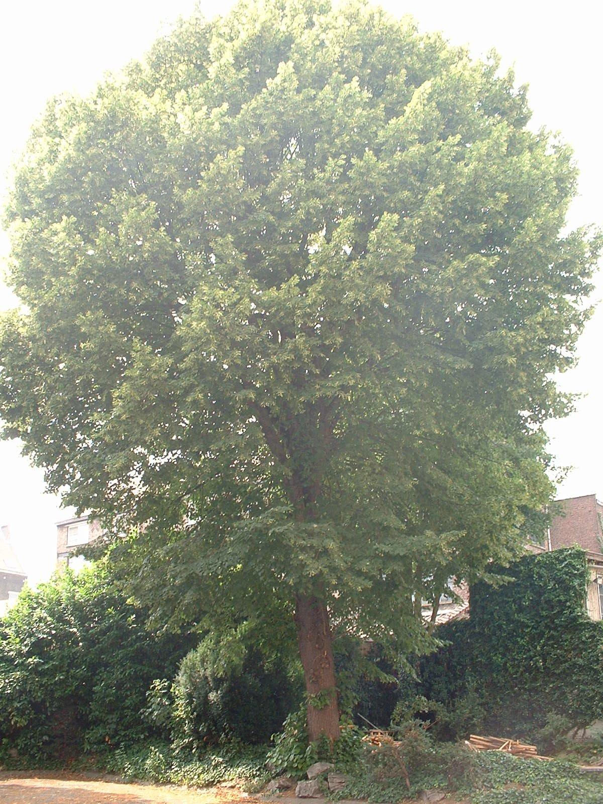 Tilleul à larges feuilles – Ixelles, Rue du Trône, 121-123 –  27 Juin 2003