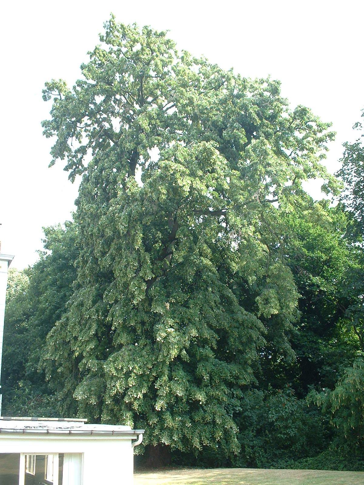 Tilleul argenté pleureur – Ixelles, Rue du Viaduc, 133 –  02 Juillet 2003