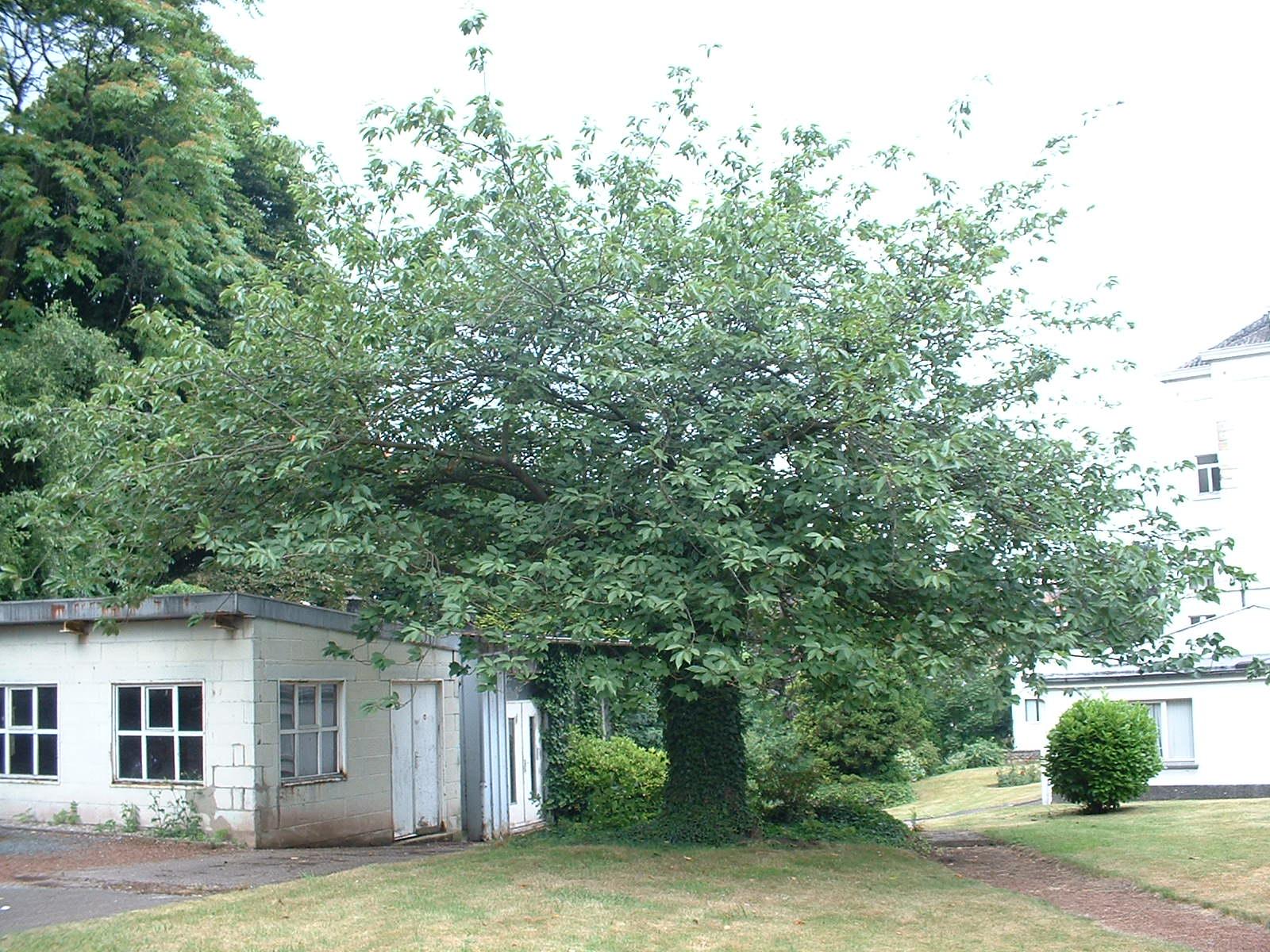 Cerisier du Japon – Ixelles, Rue du Viaduc, 133 –  02 Juillet 2003