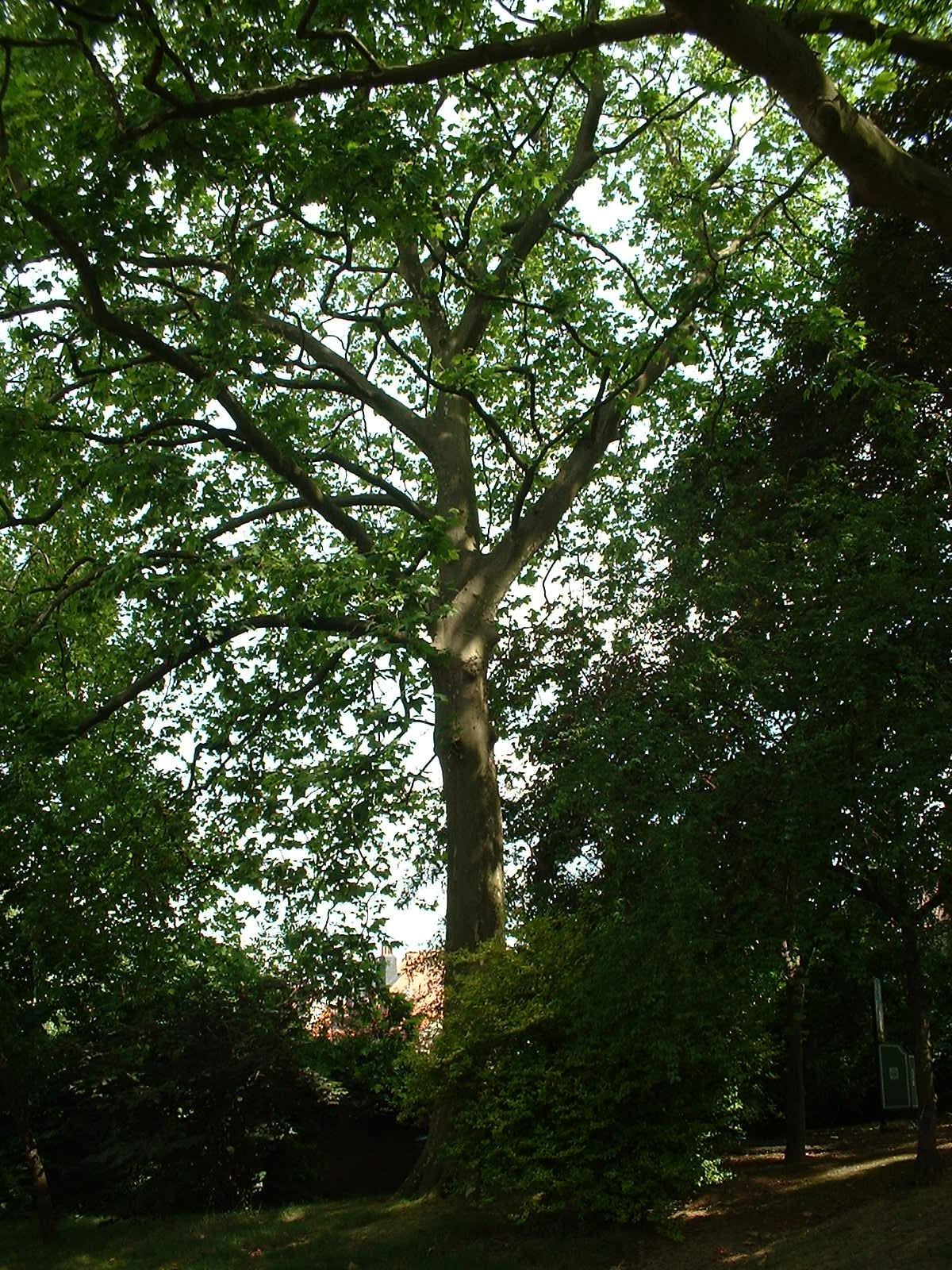 Platane à feuille d'érable – Ixelles, Parc Jadot, Rue du Bourgmestre –  08 Juillet 2003