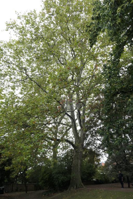 Platane à feuille d'érable – Ixelles, Parc Jadot, Rue du Bourgmestre –  27 Septembre 2019