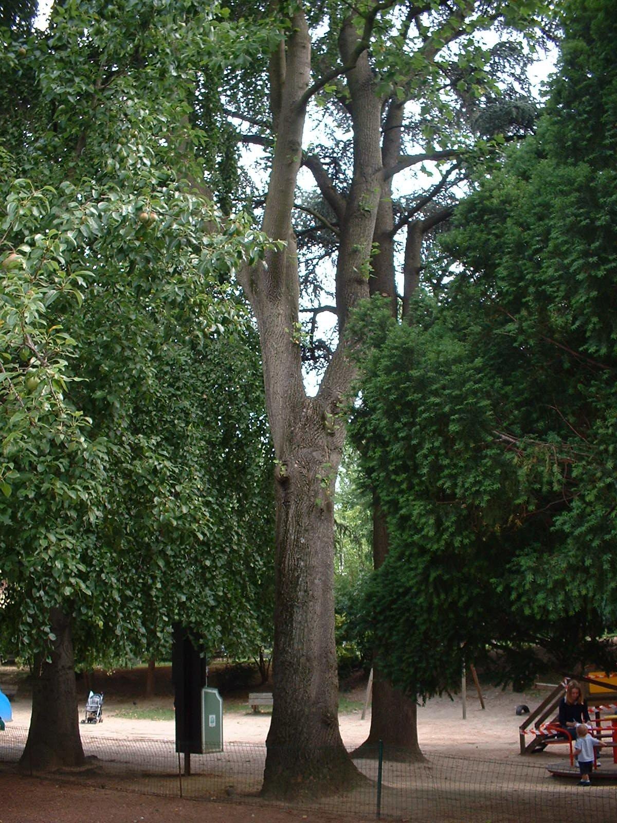 Tulipier de Virginie – Ixelles, Parc Jadot, Rue du Bourgmestre –  08 Juillet 2003