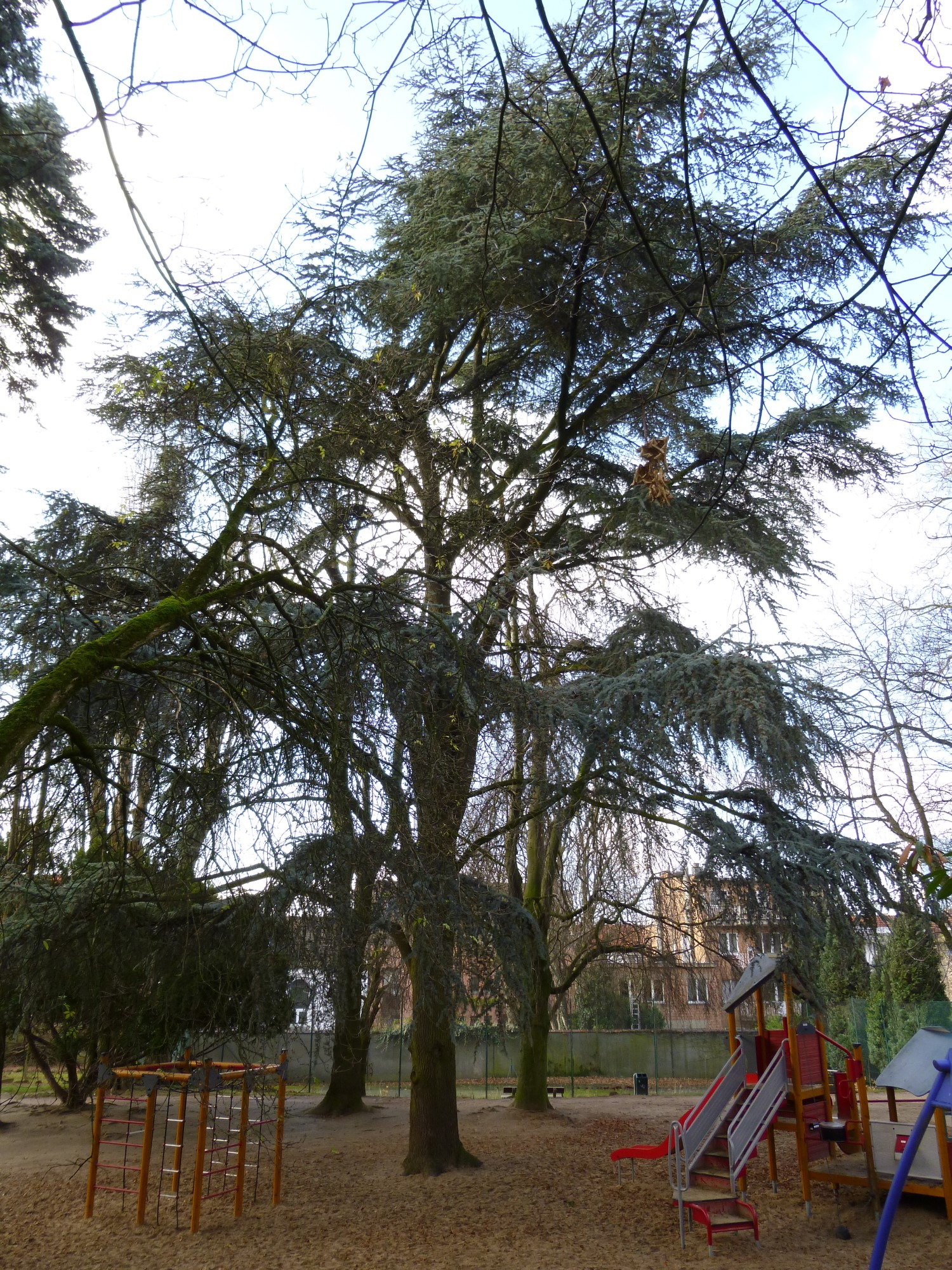 Cèdre bleu de l'Atlas – Ixelles, Parc Jadot, Rue du Bourgmestre –  11 Décembre 2012