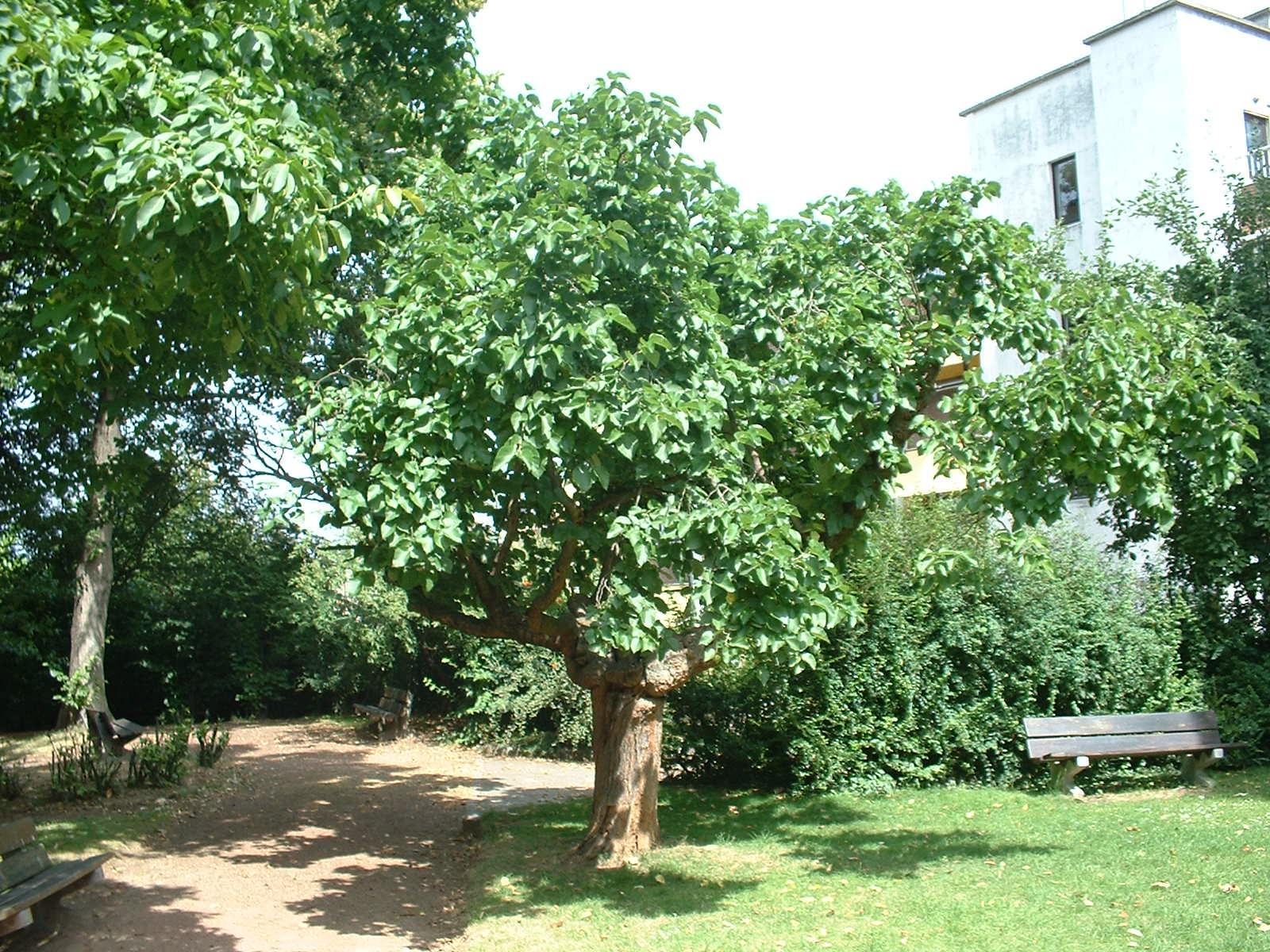 Witte moerbei – Elsene, Jadotpark, Burgemeestersstraat –  08 Juli 2003