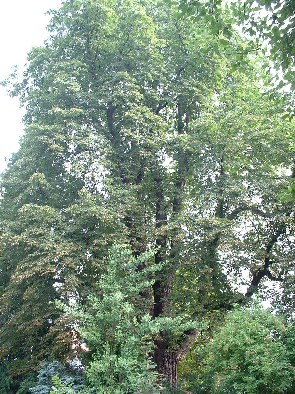 Marronnier commun – Watermael-Boitsfort, Avenue des Coccinelles, 6 –  09 Juillet 2003