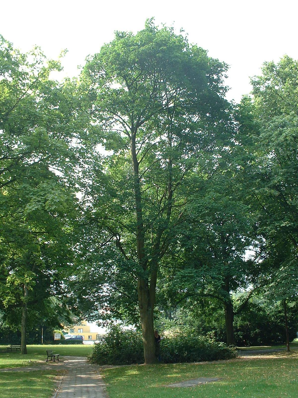 Acer platanoides f. crispum – Watermael-Boitsfort, Cités-Jardin Le Logis et Floréal, Square des Archiducs –  09 Juillet 2003