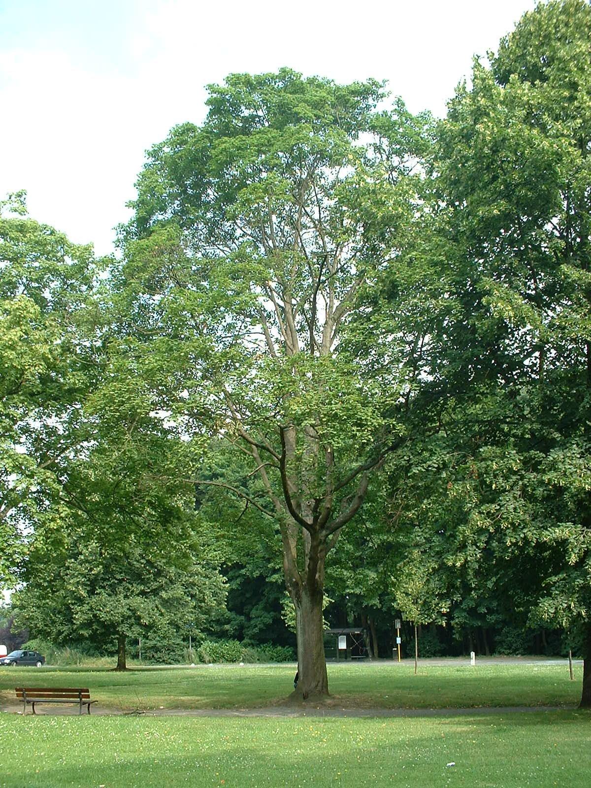 Acer platanoides f. crispum – Watermaal-Bosvoorde, Aartshertogensquare –  09 Juli 2003