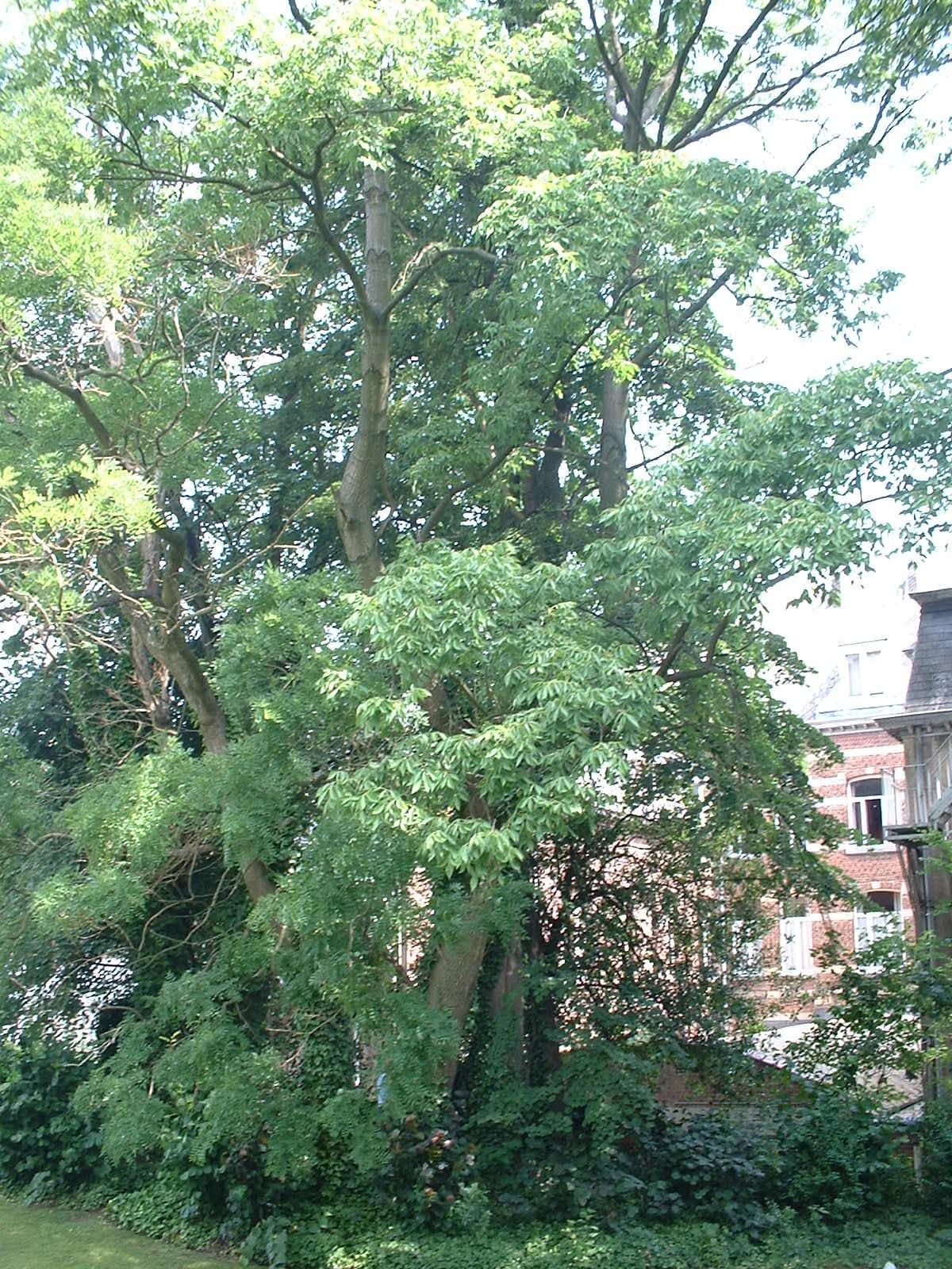 Frêne blanc d'Amérique – Ixelles, Avenue de la Couronne, 105 –  09 Juillet 2003
