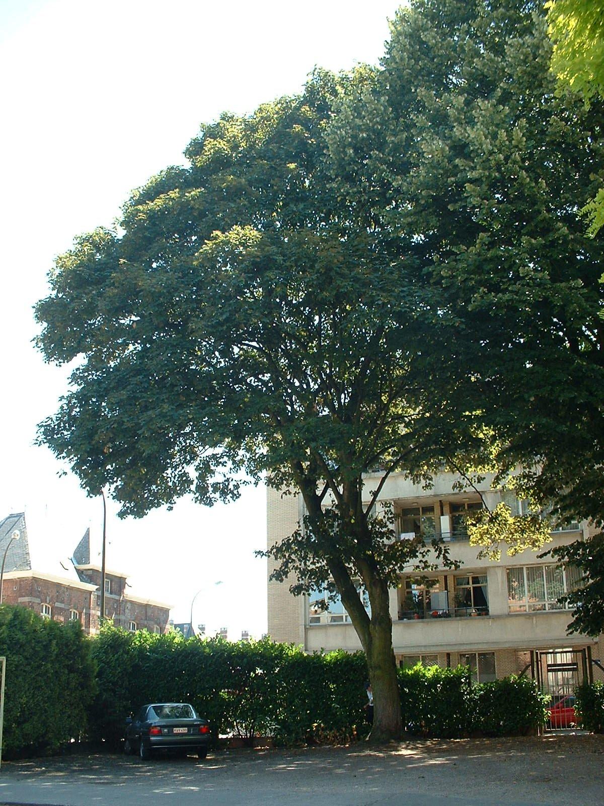 Erable sycomore – Ixelles, Rue Fritz Toussaint, 55 –  14 Juillet 2003