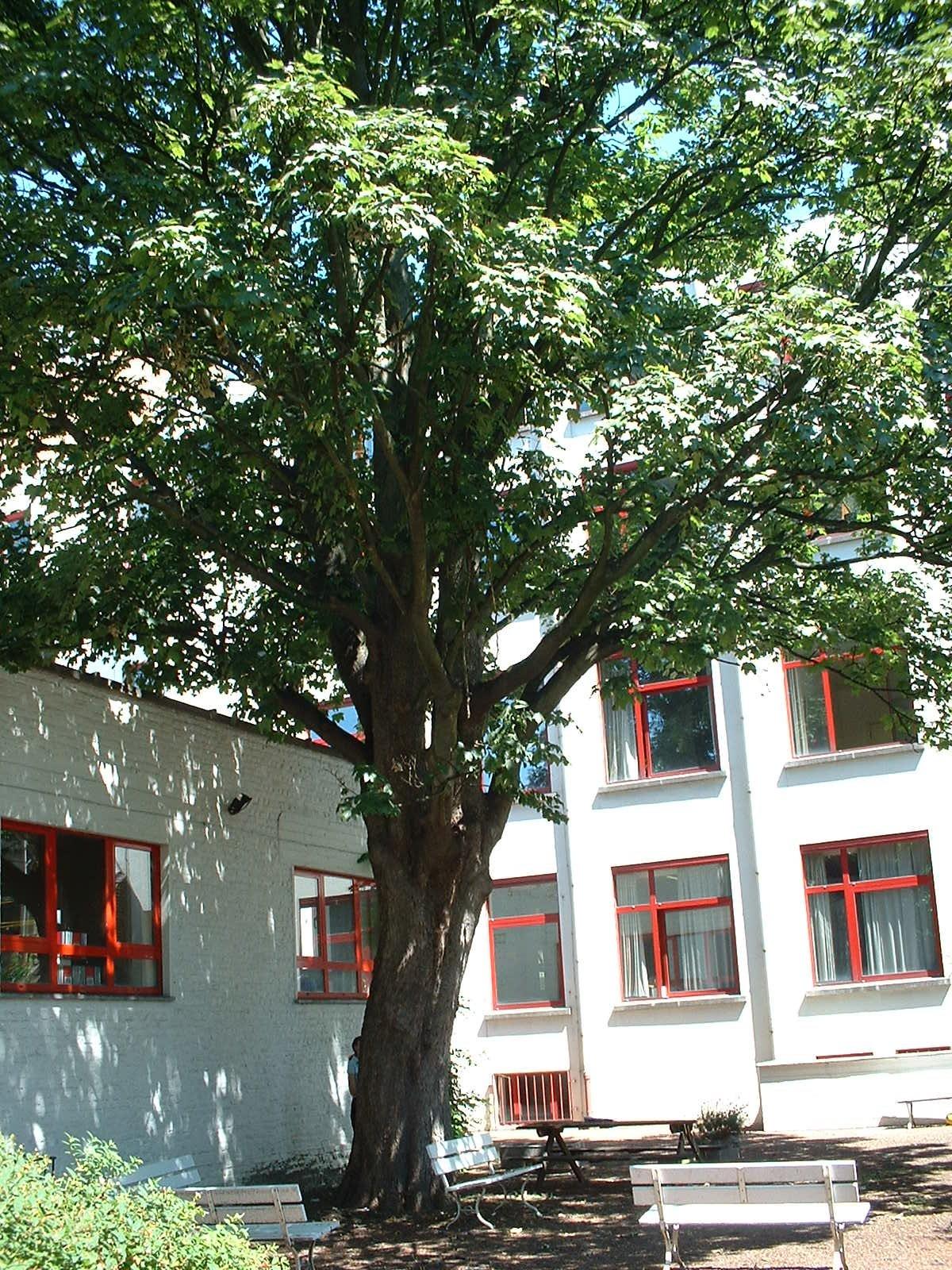 Erable sycomore – Ixelles, Avenue Emile de Beco, 109-111 –  14 Juillet 2003
