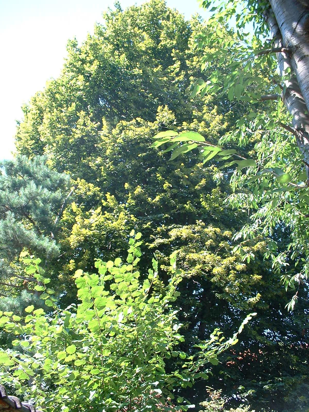 Tilleul à larges feuilles – Ixelles, Rue Emile Banning, 85 –  14 Juillet 2003