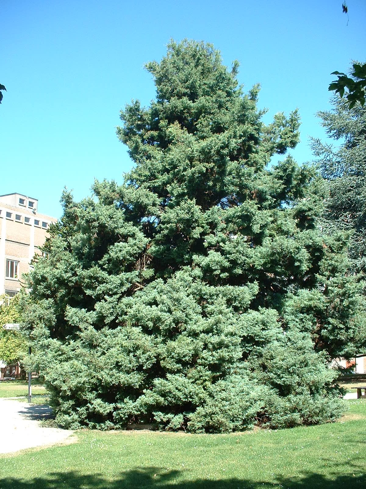 Chamaecyparis pisifera 'Plumosa' – Bruxelles, Université Libre de Bruxelles - Solbosch, parc –  15 Juillet 2003