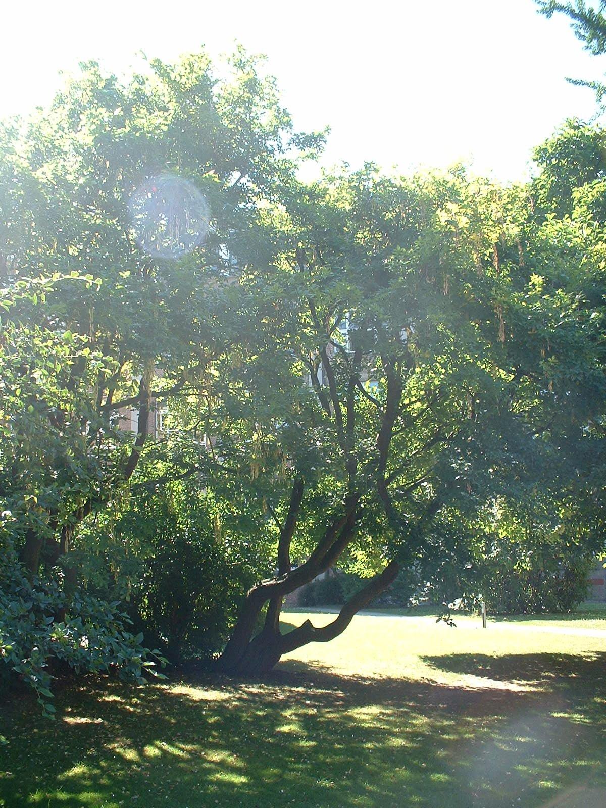 Laburnum x watereri – Bruxelles, Université Libre de Bruxelles - Solbosch, parc –  15 Juillet 2003