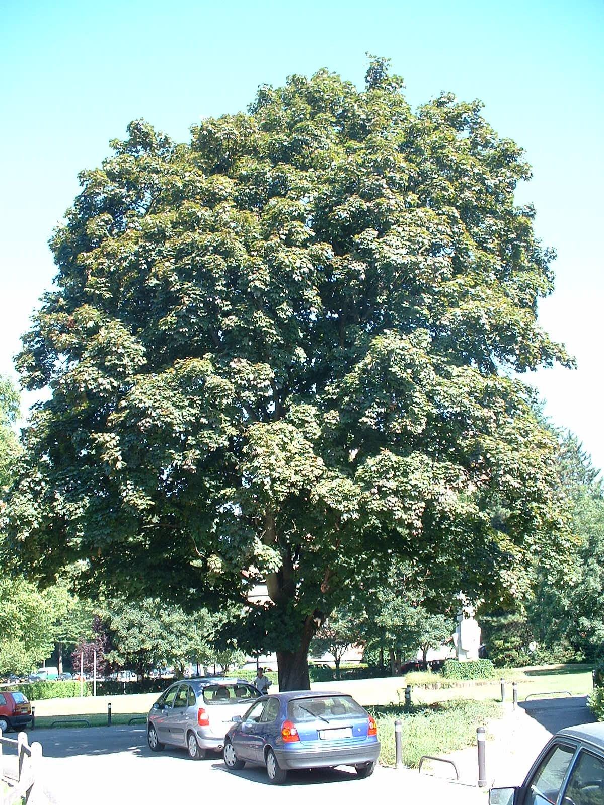 Acer platanoides f. schwedleri, Université Libre de Bruxelles - Solbosch