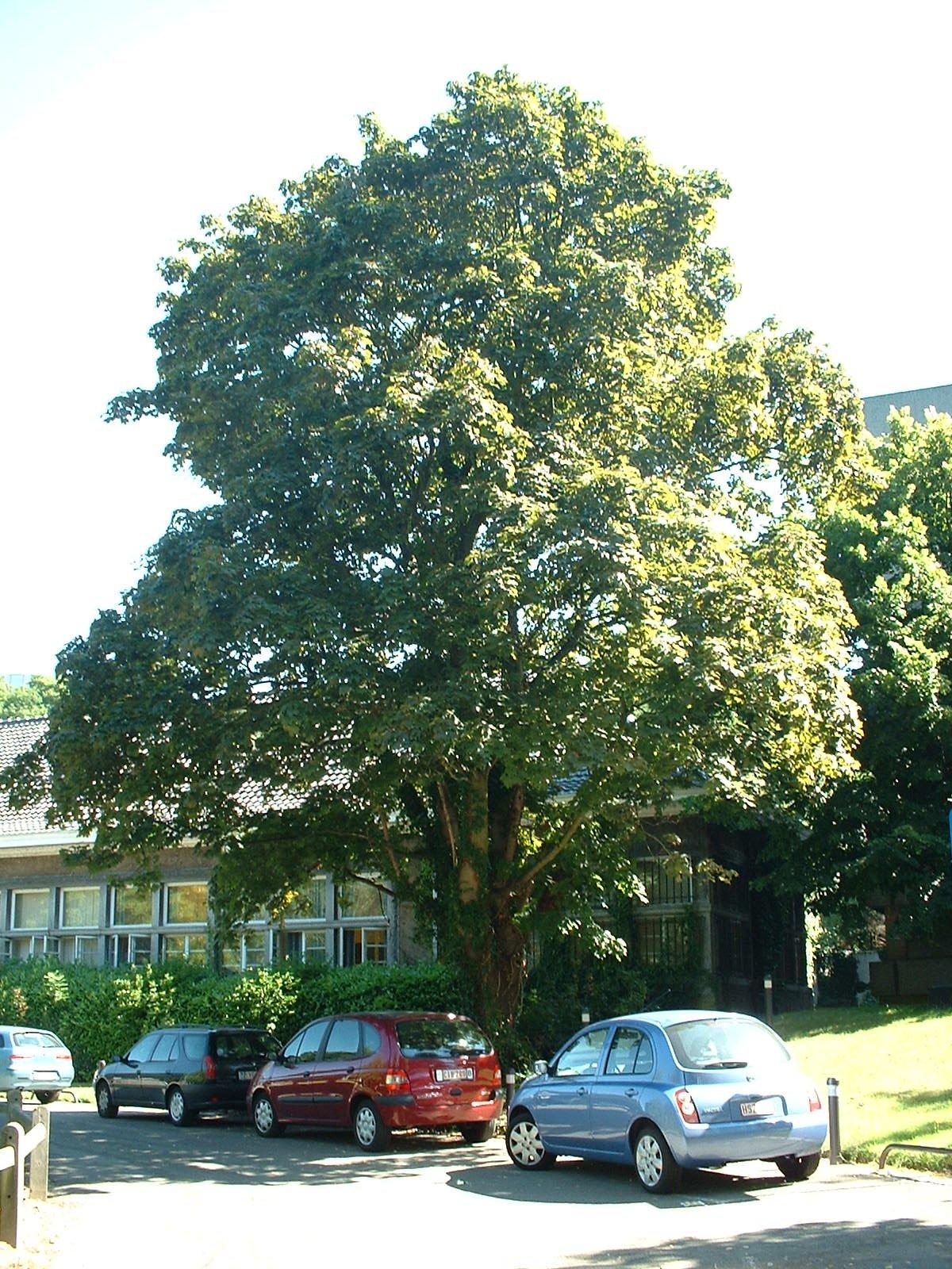 Acer platanoides f. schwedleri – Bruxelles, Université Libre de Bruxelles - Solbosch, Avenue Franklin Roosevelt, 48 –  15 Juillet 2003