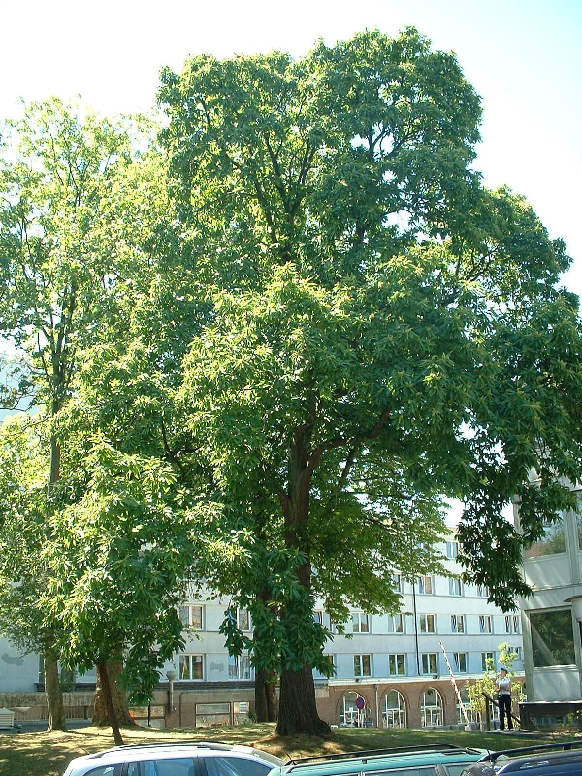 Châtaignier – Bruxelles, Université Libre de Bruxelles - Solbosch, parc –  15 Juillet 2003