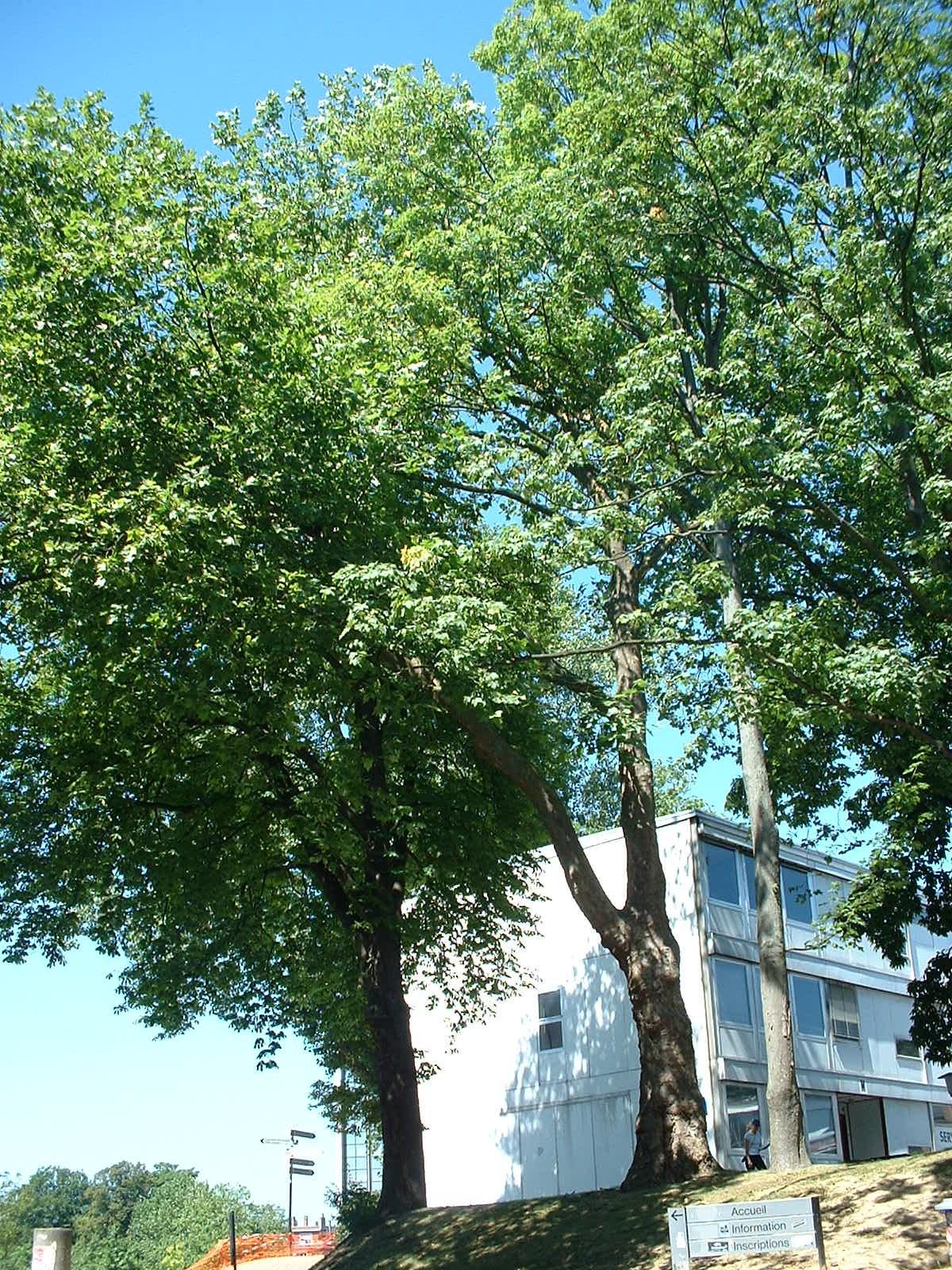 Platane à feuille d'érable – Bruxelles, Université Libre de Bruxelles - Solbosch, parc –  15 Juillet 2003