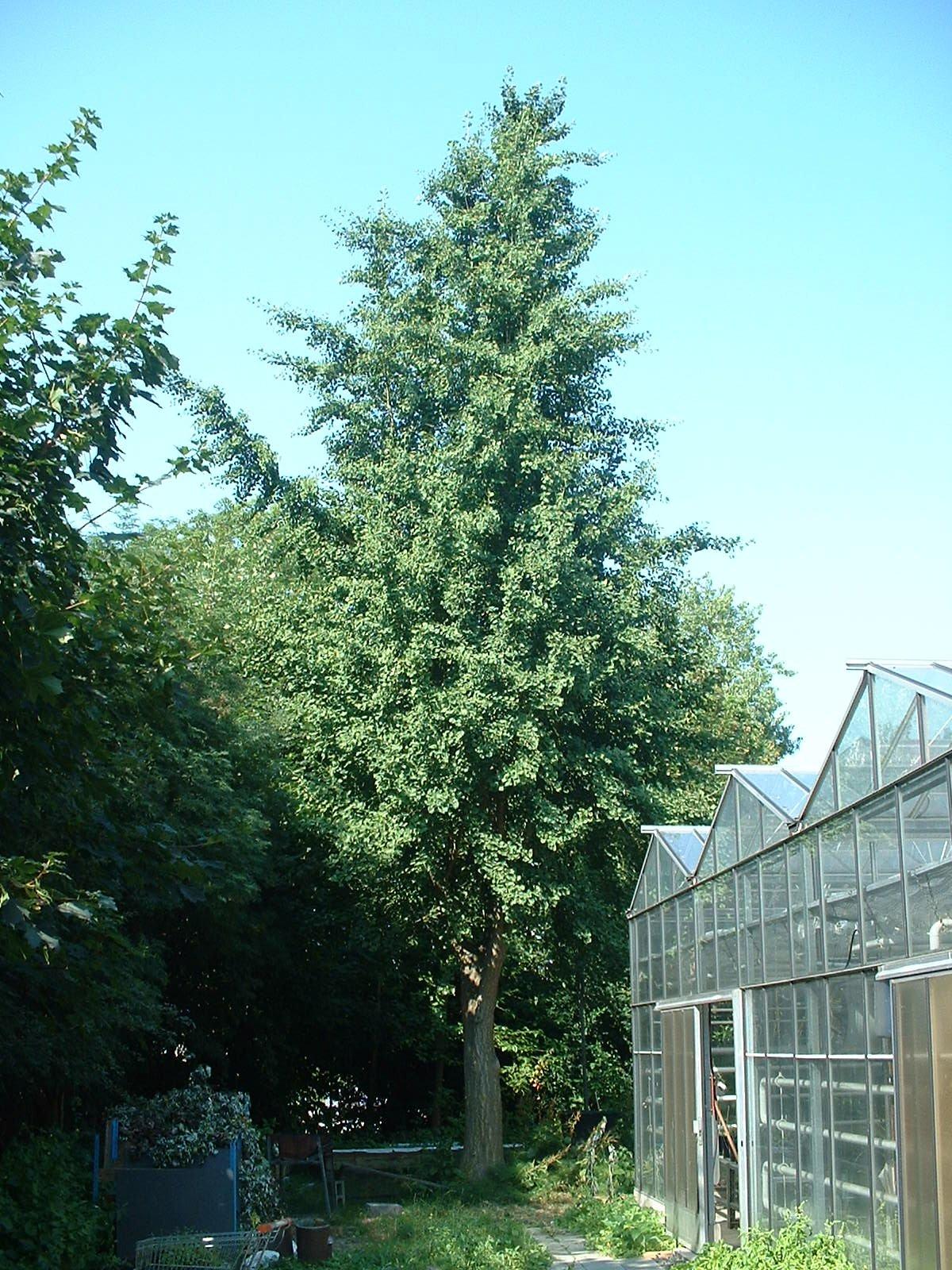 Arbre aux quarante écus – Bruxelles, Université Libre de Bruxelles - Solbosch, Avenue Adolphe Buyl –  16 Juillet 2003