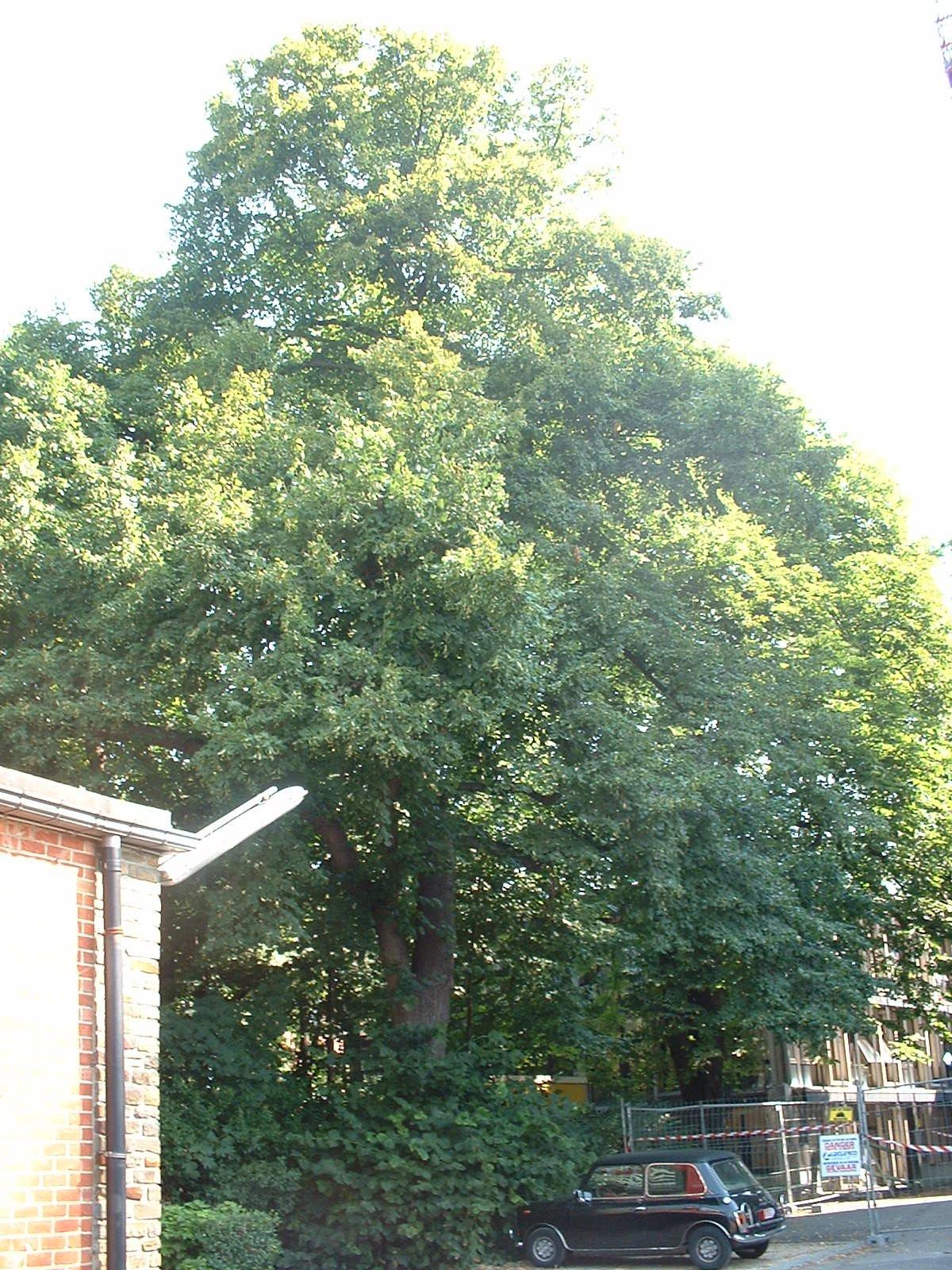 Tilleul à larges feuilles – Bruxelles, Université Libre de Bruxelles - Solbosch, Avenue Adolphe Buyl –  16 Juillet 2003