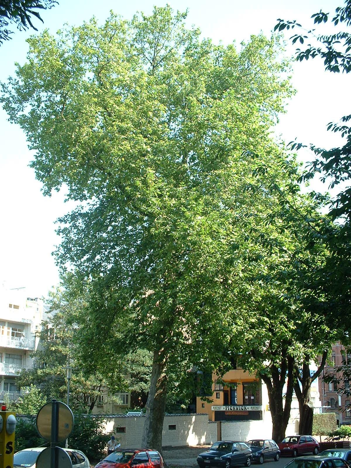 Platane à feuille d'érable – Bruxelles, Université Libre de Bruxelles - Solbosch, Avenue Adolphe Buyl –  16 Juillet 2003