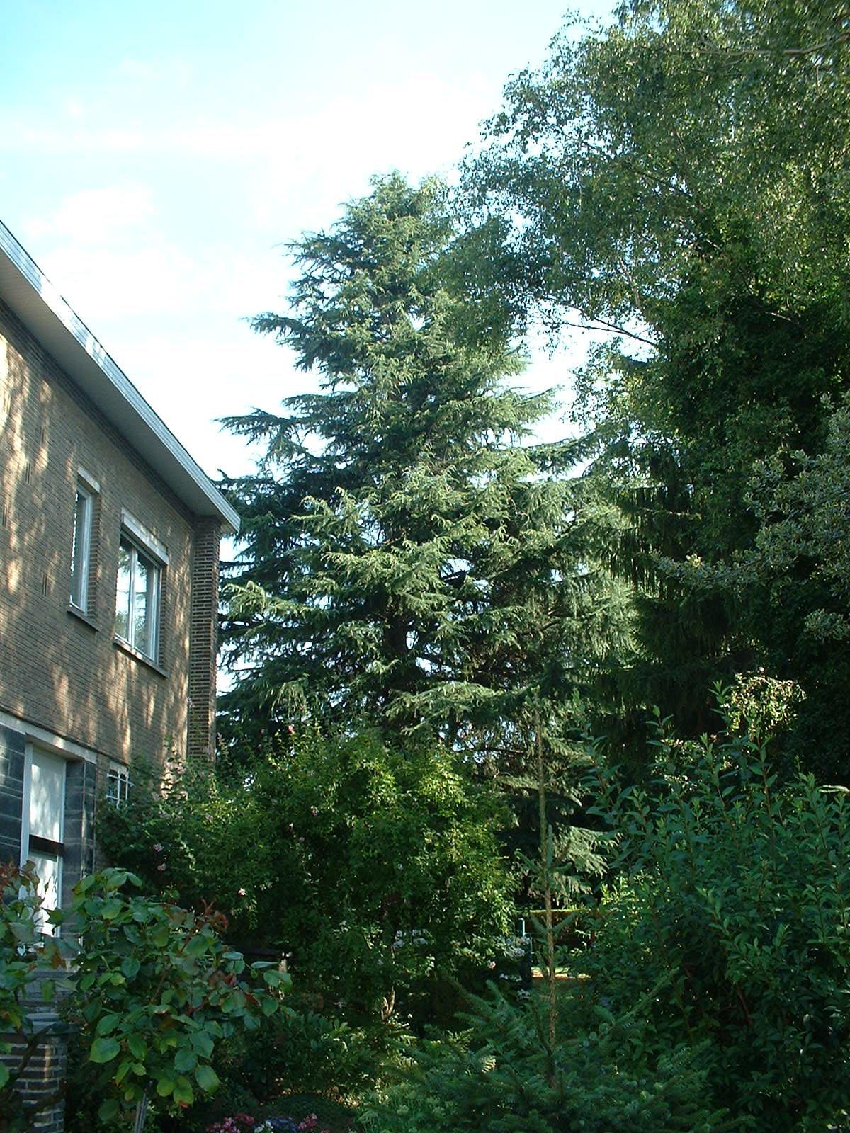 Cèdre de l'Himalaya – Anderlecht, Rue du Potaerdenberg, 167 –  28 Juillet 2003