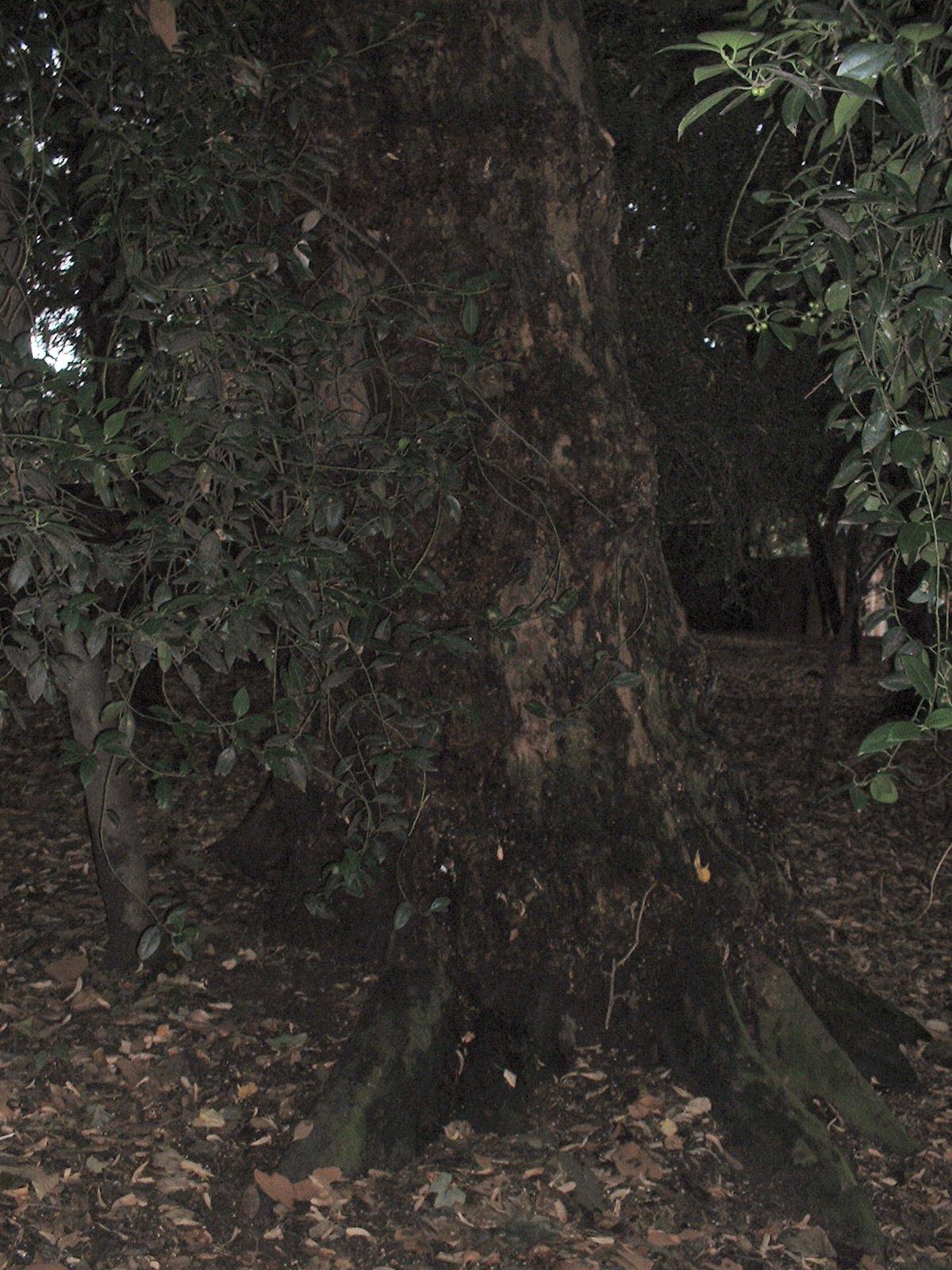 Gewone plataan – Elsene,  H.Demarque, Boondaalse Steenweg –  30 Juli 2003